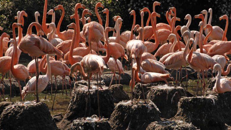 Venezuelans Forced to Eat Flamingos to Survive Socialist 'Maduro Diet'