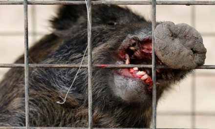 Radioactive wild boars seen roaming Fukushima's nuclear wastelands