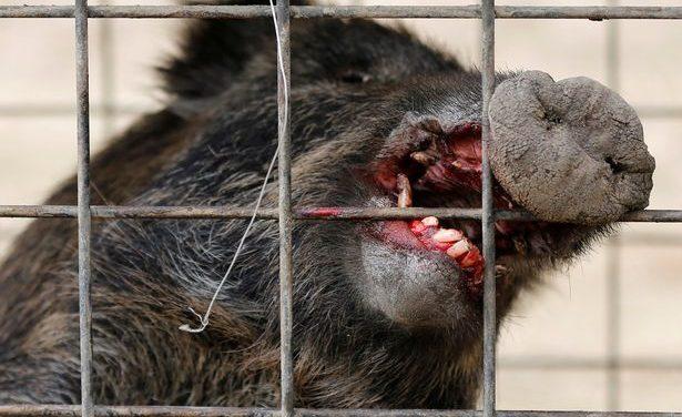 Radioactive wild boars seen roaming Fukushima's nuclear wastelands